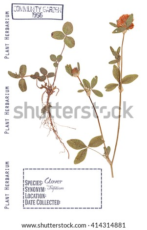 Herbarium of pressed parts of the plant clover. Stem, leaves, roots and flowers isolated on white - stock photo