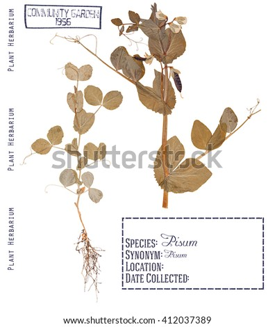 Herbarium of pressed parts of the plant peas. Leaves, stem, flower, pods, root isolated on white - stock photo