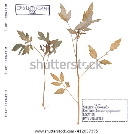 Herbarium of pressed parts of the tomato plants. Leaves, stems, roots of the tomato isolated white - stock photo