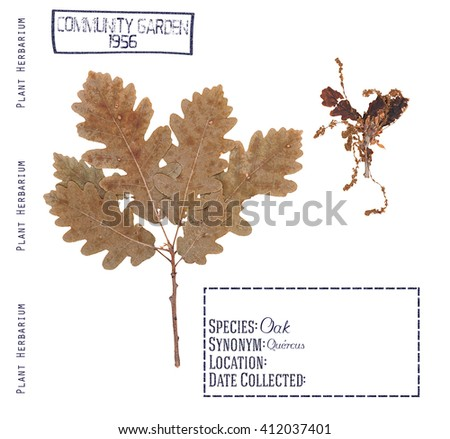 Herbarium pressed branches, leave and flower tree oak isolated on white - stock photo