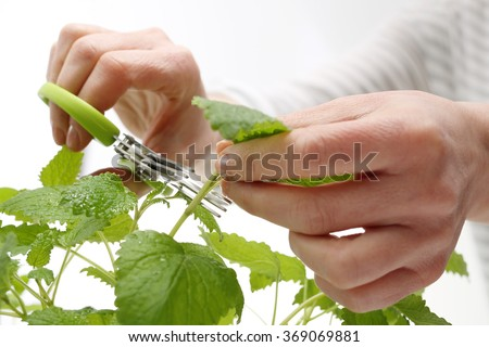 Herbs in the kitchen. The woman cut fresh herbs Herb scissors with multiple blades.  - stock photo