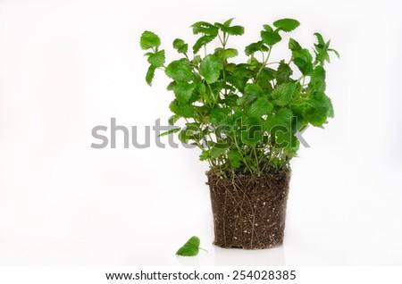 herbs on white,lemon balm - stock photo