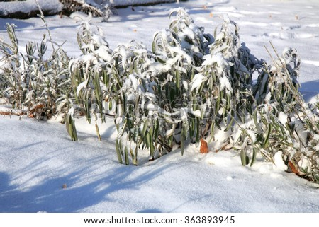 Herbs under snow in herbal rustic home garden. Winter lavender, lavandula and sage. - stock photo