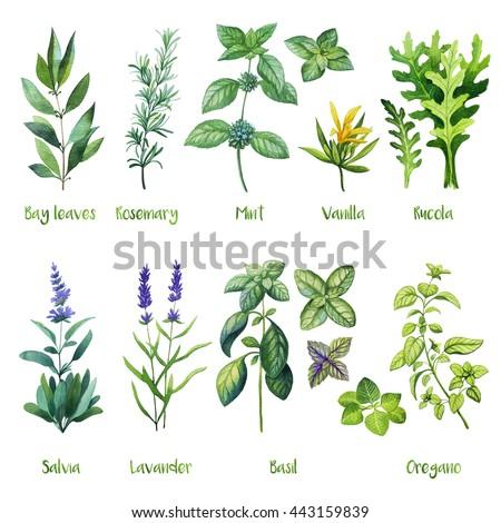 Herbs. Watercolor illustration. Bay leaves, Rosemary, Mint, Vanilla, Rucola, Arugula, Salvia, Lavander, Basil, Oregano. - stock photo