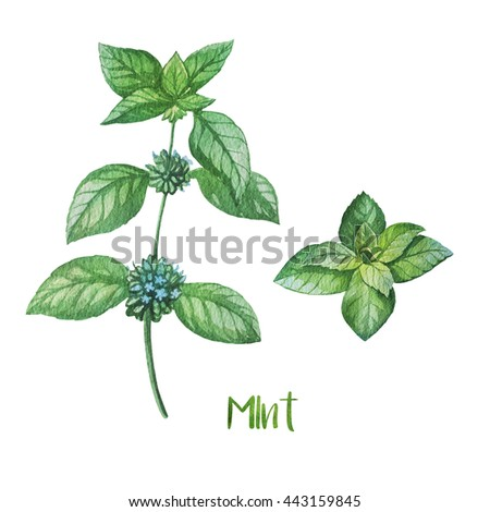 Herbs. Watercolor illustration. Mint. - stock photo