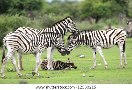 Herd Burchell's zebras in a grassland.  Etosha National Park. Namibia - stock photo