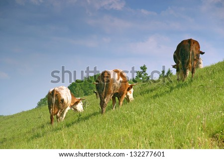 Herd cows grazing fresh spring green grass