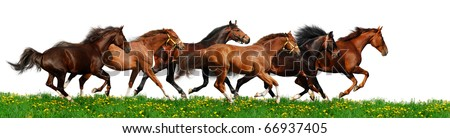 herd gallops - isolated on white - stock photo