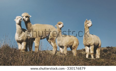 Herd Lamas Wilderness Alpaca Animal Livestock Rural Concept - stock photo