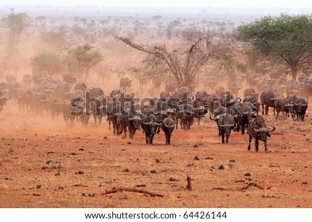 Herd of African buffaloes - stock photo