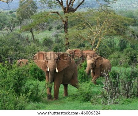 Herd of African Elephants - stock photo