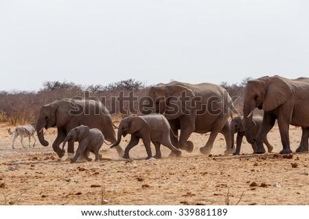 herd of African elephants hurry to waterhole. Etosha national Park, Ombika, Kunene, Namibia. True wildlife photography - stock photo