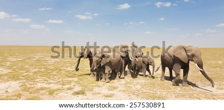 Herd of african elephants in savanna. African elephant societies are arranged around family units made up of around ten closely related females and their calves and is led by an older female. - stock photo