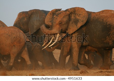 Herd of African elephants on the move in cloud of dust