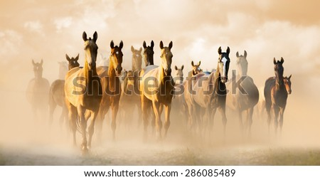 Herd of akhal-teke horses in dust running to pasture - stock photo