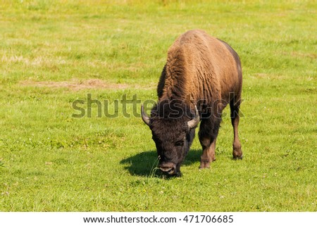 Herd of American bison (Bison bison), also commonly known as the American buffalo or simply buffalo grazzing on green grassland