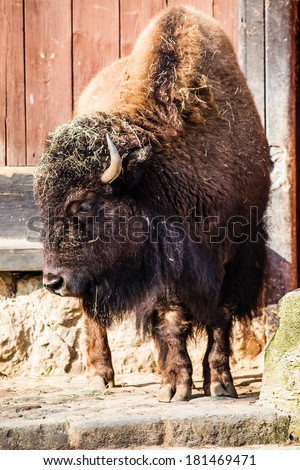 Herd of American Bison (Bison Bison) or Buffalo  - stock photo