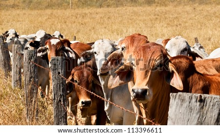 Herd of animals, brown and grey brahman cows line up along an old barb wire farm fence on an australian beef cattle ranch - stock photo