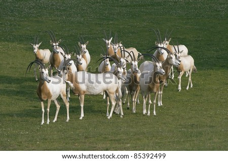 Herd of antelopes grazing on a meadow - stock photo