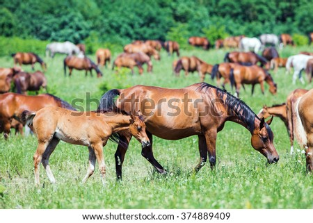 Herd of Arabian horses eating grass in field in summer - stock photo
