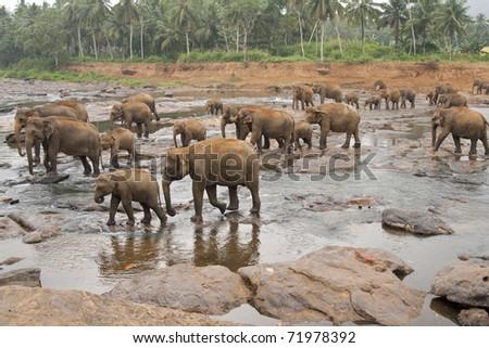 Herd of asian elephants bathing in the Maha Oya river at the Pinnawela Elephant Orphanage in Sri Lanka - stock photo