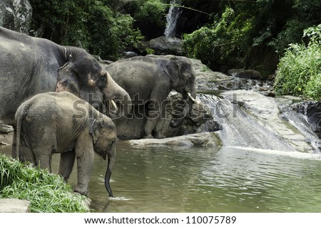 Herd of Asian Elephants (Elephas maximus) drinking at a cool river. - stock photo