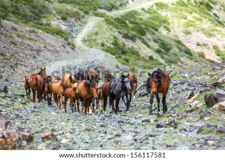 Herd of beautiful horses going up in mountains - stock photo