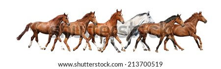 Herd of beautiful wild horses running free on white background