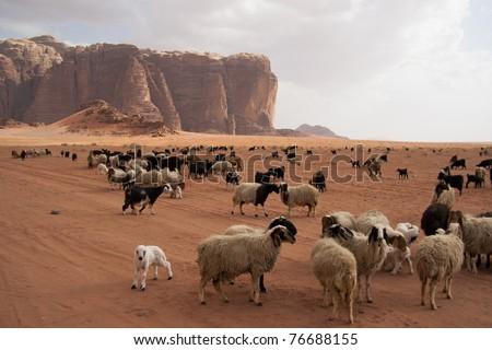 Herd of Bedouin sheep and goats in the Wadi Rum desert - stock photo