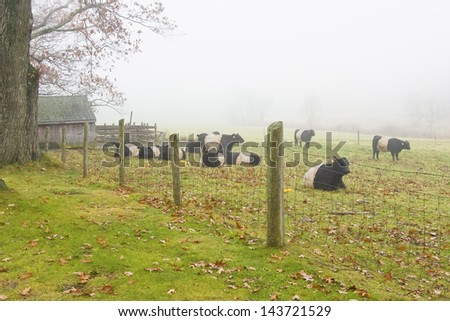 Herd of Belted Galloway cows  in Rockport, Maine. - stock photo