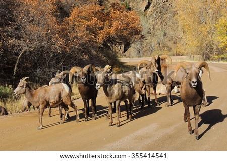 herd  of big horn sheep in waterton canyon, littleton,  colorado           - stock photo
