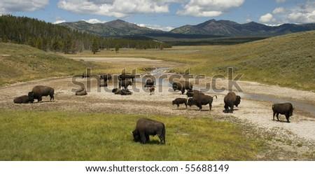 herd of bison in yellowstone's hayden valley - stock photo