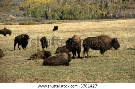 Herd of bison migrating,		Grand Teton National Park,	Wyoming
