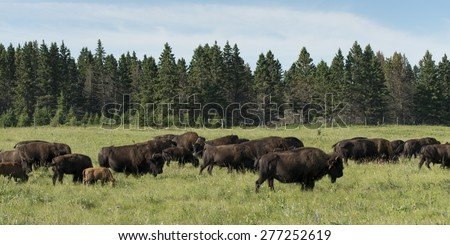 Herd of bison walking in a field, Lake Audy Campground, Riding Mountain National Park, Manitoba, Canada - stock photo