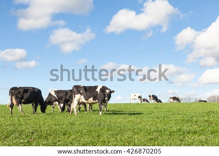 Herd of  black and white Holstein Dairy cows grazing in evening light  on the skyline  with fluffy white clouds in a blue sky and copy space - stock photo