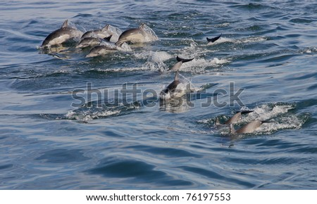 Herd of bottle nose dolphin frolic in the waves of the Pacific Ocean