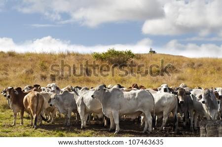 Herd of brahman beef cattle cows in rural Queensland - stock photo