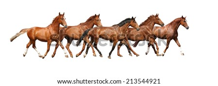 Herd of brown horses running free on white background - stock photo