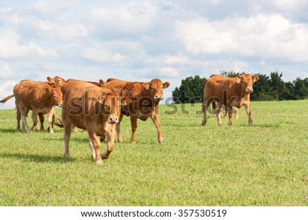 Herd of brown Limousin beef cattle walking across a green field in evening light with the cows looking curiously at the camera