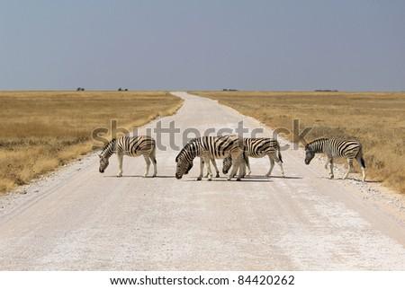Herd of Burchell?s zebras crossing road in Etosha wildpark, Okaukuejo waterhole. Namibia - stock photo
