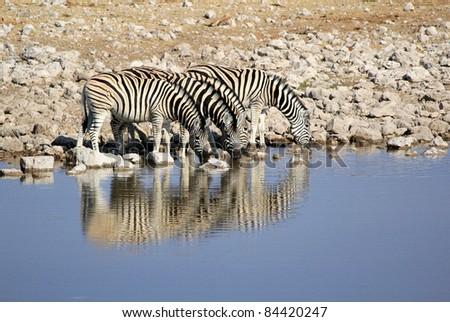 Herd of Burchell?s zebras drinking water in Etosha wildpark, Okaukuejo waterhole. Namibia - stock photo