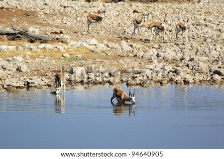 Herd of Burchell´s zebras drinking water in Etosha wildpark, Okaukuejo waterhole. Namibia - stock photo