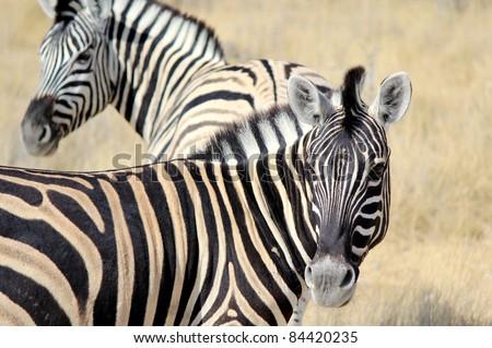 Herd of Burchell?s zebras in Etosha wildpark, Okaukuejo waterhole. Namibia - stock photo