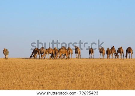 Herd of camels in the desert - stock photo