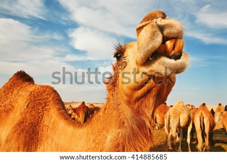 Herd of camels in the desert, United Arab Emirates - stock photo