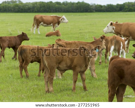 Herd of cattle in a field, Manitoba, Canada