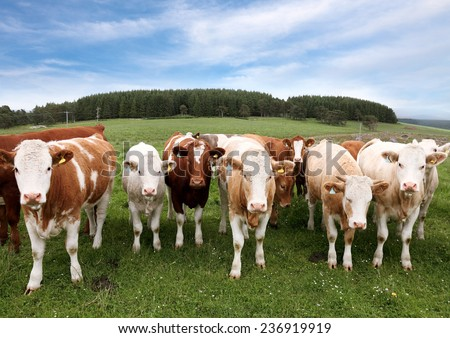 Herd of cattle in English countryside - stock photo