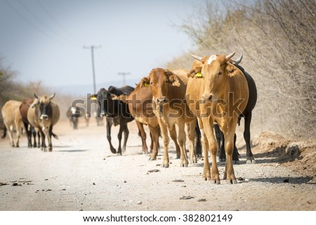Herd of cattle moving down a dusty road in Botswana, Africa - stock photo