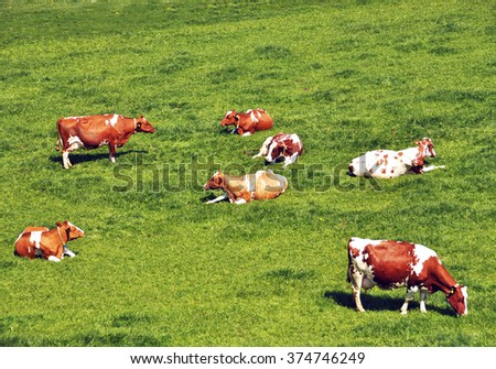 Herd of cattle on a scenic Alpine meadow. Emmental, Switzerland - stock photo