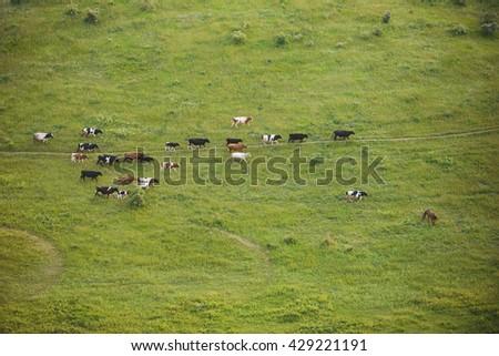 herd of cattle walking in green meadow - stock photo